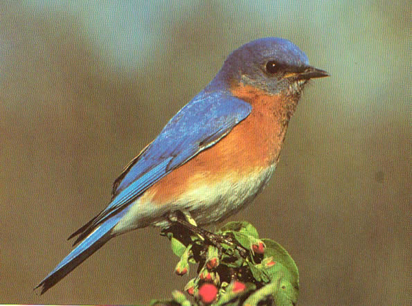 Watercolor Lesson - Learn How to Paint a Bluebird From a Photo