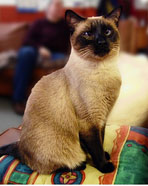 siamese cat 1