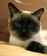 siamese cat 3