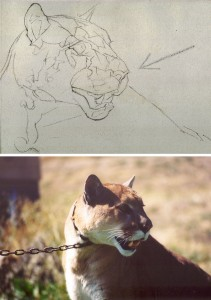 How To Draw a Cougar Step by Step