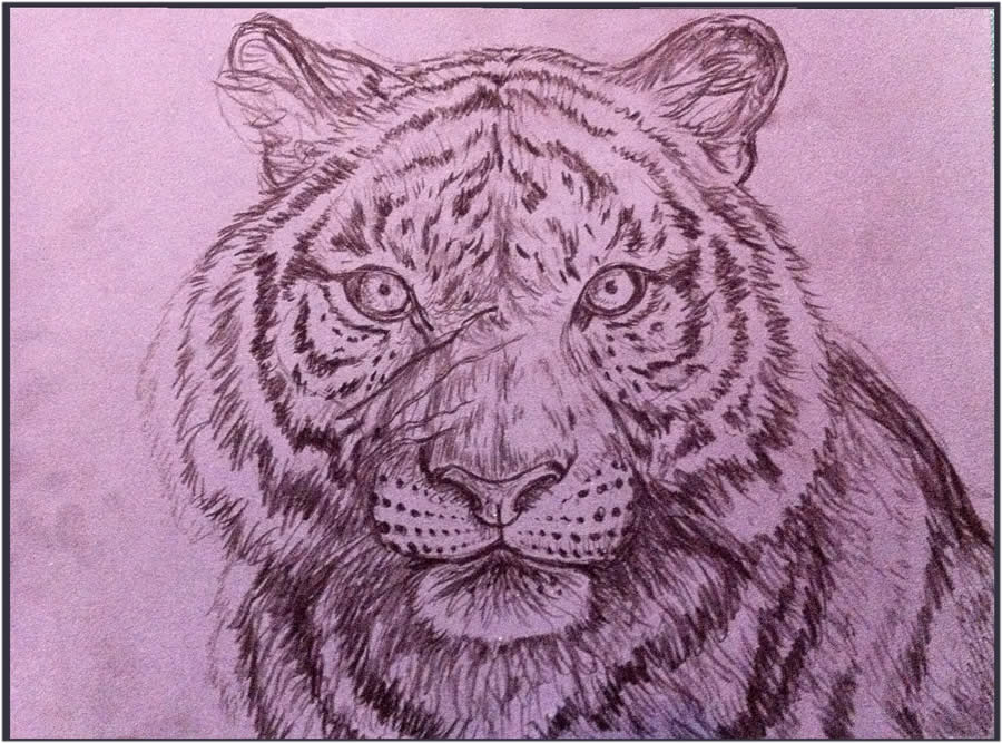 tiger drawing 4